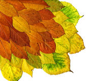 Autumn leaves isolated on white Royalty Free Stock Photos