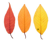 Autumn leaves isolated on white Stock Photo