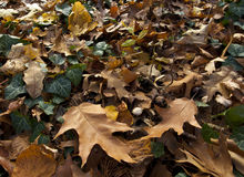 Autumn leaves, ivy and mushrooms. Royalty Free Stock Photo
