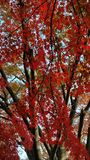 Autumn leaves. Japan during the autumn Royalty Free Stock Photography