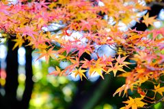 Autumn Leaves In Japan Arkivfoto