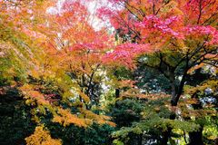 Autumn leaves in Japan. Autumn foliage maple tree stock photography