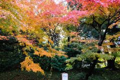 Autumn leaves in Japan. Autumn foliage maple tree royalty free stock photography
