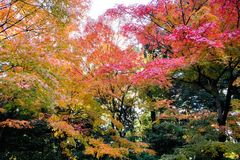 Autumn leaves in Japan. Autumn foliage maple tree Royalty Free Stock Photos