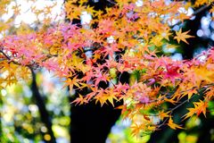 Autumn leaves in Japan. Autumn foliage red maple Royalty Free Stock Photos