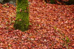 Autumn leaves in Japan royalty free stock photo