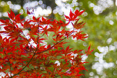Autumn leaves in Japan Stock Images