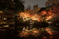 Autumn leaves in Japanese Garden. The view of the beautiful autumn leaves lighting-up under fall night sky in Tokyo, Japan Stock Photography