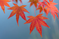 Autumn Leaves of Japanese Maple Stock Images