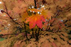 Autumn Leaves on a Japanese Maple stock image