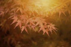 Autumn Leaves of Japanese Maple. With softly blurred background Royalty Free Stock Photography