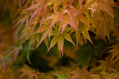 Autumn Leaves of Japanese Maple. With softly blurred background Stock Images