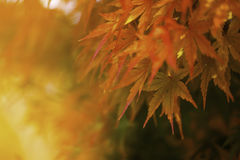 Autumn Leaves of Japanese Maple. With softly blurred background Stock Photo
