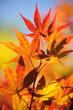 Autumn Leaves of Japanese Maple Tree. Colorful autumn leaves of Japanese Maple tree lit with sun Royalty Free Stock Photos