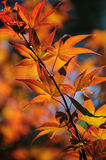 Autumn Leaves of Japanese Maple Tree. Colorful autumn leaves of Japanese Maple tree lit with sun. Vertical Stock Image