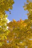 Autumn Leaves jaune-orange d'or intelligent de l'érable Photographie stock libre de droits
