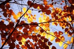Autumn leaves Katsura tree Stock Photo