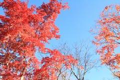 Autumn leaves in Kiyosato highland, Yamanashi. Japan Royalty Free Stock Images