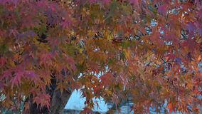 Autumn leaves in Kyoto, Japan.  stock video footage
