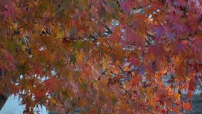 Autumn leaves in Kyoto, Japan. Autumn leaves at the park in Kyoto, Japan stock video footage
