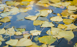 Autumn leaves in lake. Yellow leaves on lake surface Royalty Free Stock Photo