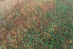 Autumn leaves on the lawn. Stock Image