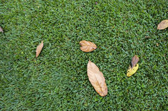 Autumn leaves laying on the grass. Group of brown and dry leaves setting on the grass. giving a sensation of group waiting for something to happend Stock Photo