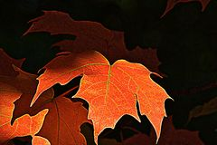Autumn leaves. An autumn leaf standing out among the others Stock Images