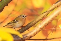 Autumn leaves on leaves and singing bird Royalty Free Stock Photo