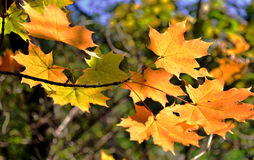 The autumn leaves. Royalty Free Stock Photos