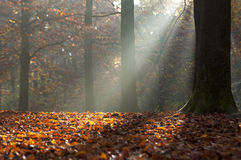 Autumn leaves and light rays in autumnal forest Stock Photography