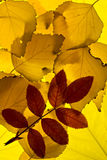 Autumn leaves lightened from backround. Brier leaf over birch leaves lightened from background Royalty Free Stock Images