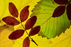 Autumn leaves lightened from backround. Brier leaf over autumn leaves lightened from backround Stock Photos
