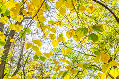 Autumn leaves of lime-tree backlit. Yellow and green leaves of lime-tree on a sunny autumn day backlit stock photo