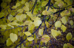 Autumn leaves of linden Stock Photography