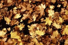 Autumn Leaves, Local Wood,Sutherland,Scotland,UK. Stock Photography
