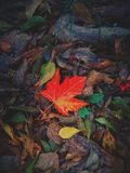 Fall leaves. Autumn leaves that look like stars Royalty Free Stock Images