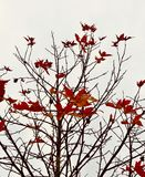 Autumn leaves looking like red birds flying in sky. Like artwork on a canvas Stock Image