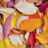 Autumn leaves lying in the faded Stock Photo