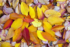 Autumn leaves lying in the faded Royalty Free Stock Photo