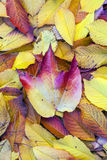Autumn leaves lying in the faded Royalty Free Stock Photography