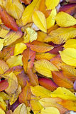 Autumn leaves lying in the faded Stock Photos