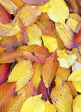 Autumn leaves lying in the faded Stock Images