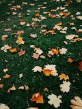 Autumn leaves lying on green grass. Latest yellow autumn leaves lying on green grass Royalty Free Stock Images