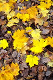Autumn leaves lying on the ground Royalty Free Stock Photos