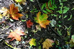 Autumn leaves lying on the ground Royalty Free Stock Photo