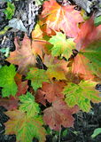 Autumn leaves lying on the ground Stock Photography