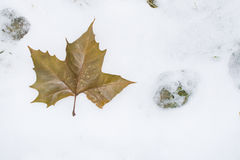 Autumn leaves lying on the snow Stock Image