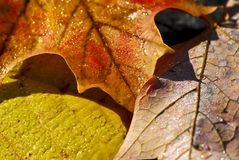 Autumn leaves macro Royalty Free Stock Photo