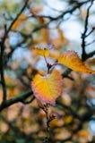 Autumn Leaves Macro royalty free stock image